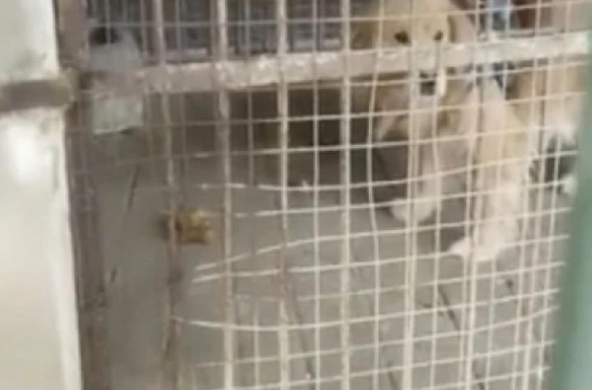 O grădină zoologică din China a înlocuit leul cu un câine și a sperat că vizitatorii nu-și vor da seama