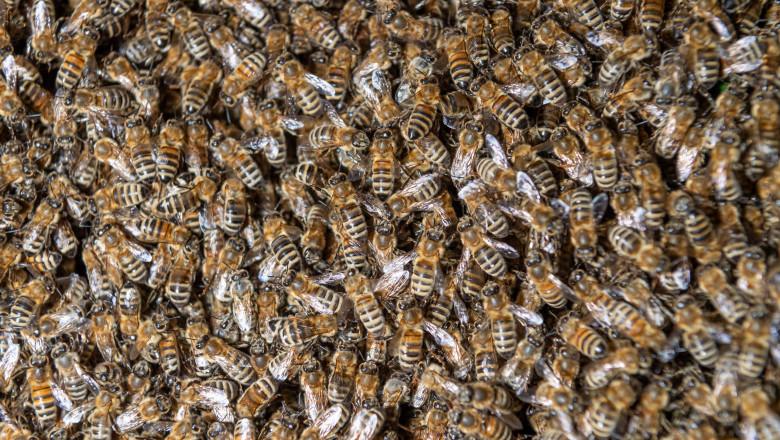O femeie din SUA a descoperit în casa ei un stup de peste 100.000 de albine, pentru a doua oară în ultimii ani