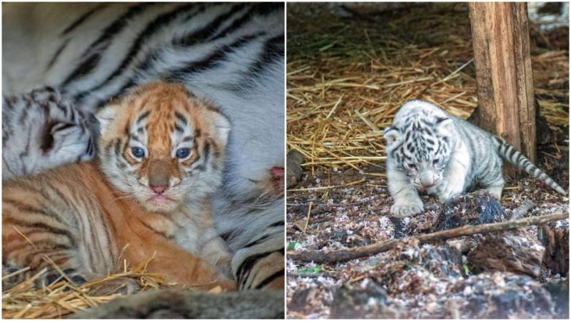 (foto) Cât sunt de frumoși! Cei doi tigri de la Zoo au ieșit din ascunziș
