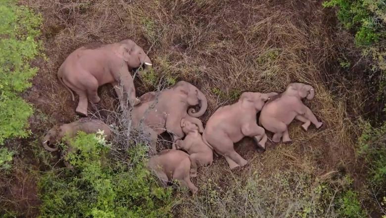 Se odihnesc după călătoria de 500 km! Imagini spectaculoase cu cei 15 elefanți migratori din China
