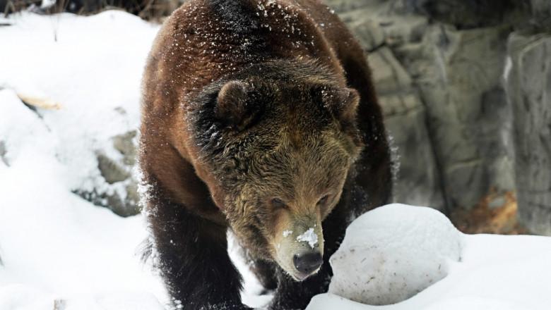 Un bărbat s-a luptat timp de o săptămână cu un urs grizzly într-o cabană izolată în sălbăticie. A fost salvat din întâmplare
