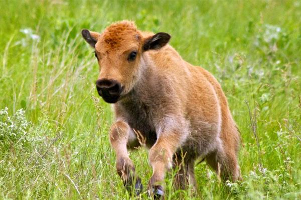 """(VIDEO) Un pui de zimbru s-a născut în Rezervația """"Pădurea Domnească"""" din raionul Glodeni"""