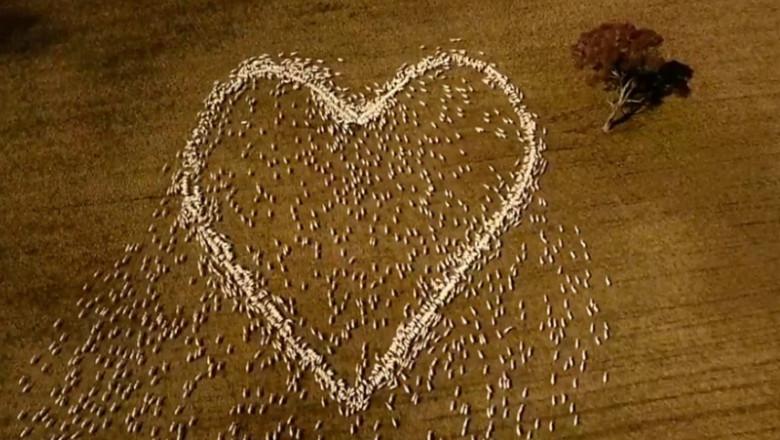 """Un fermier din Australia a """"desenat"""" o inimă din oi pentru a-i transmite un ultim mesaj de dragoste unei rude decedate"""