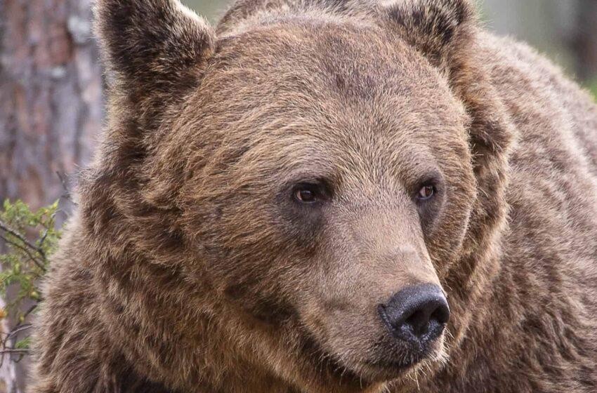 (FOTO) Un urs, surprins în momentul în care a urcat direct pe acoperișul unei mașini, pe un traseu din Munţii Făgăraş