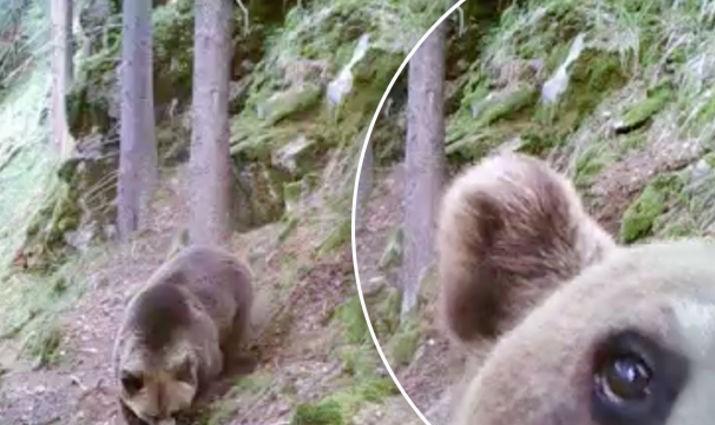 (VIDEO) Imagini inedite cu un urs, care găseşte o cameră de monitorizare a faunei