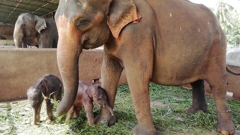 Imagini inedite cu elefanți gemeni născuţi în Sri Lanka, pentru prima dată în ultimii 80 de ani