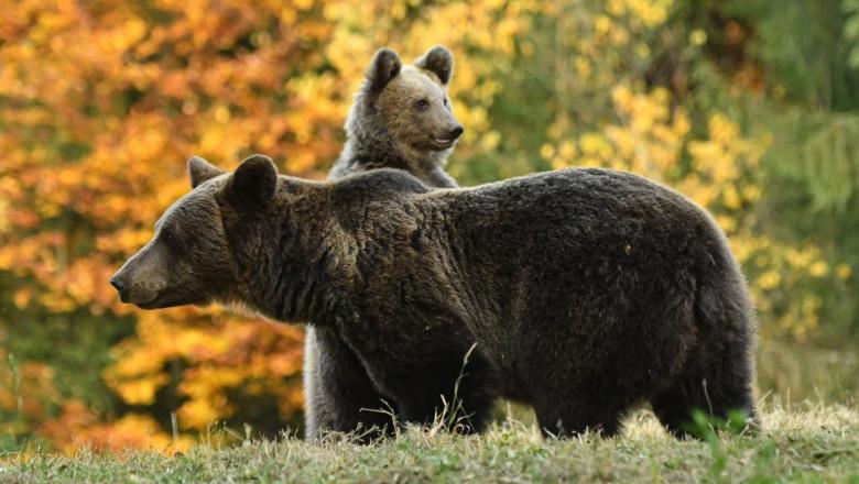 Melodie rock împotriva atacurilor urşilor. Metoda inedită folosită de japonezi pentru a proteja locuitorii de urși