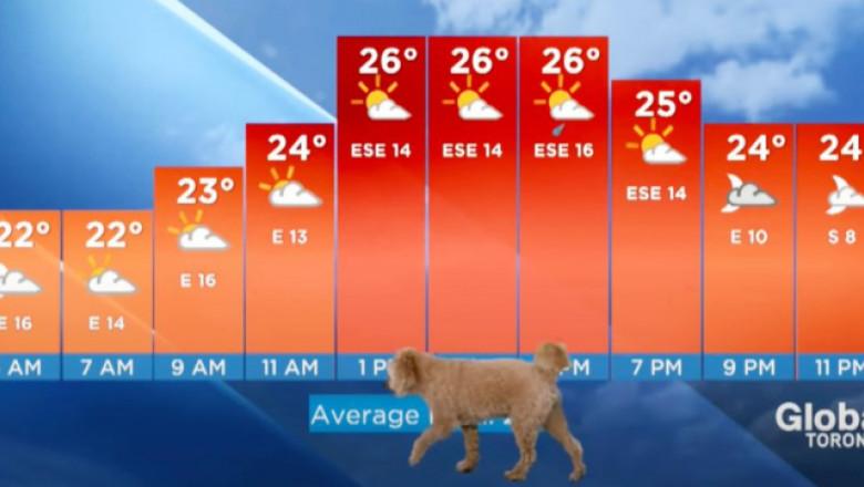 (VIDEO) Prognoză meteo întreruptă de un cățeluș aflat în căutare de hrană