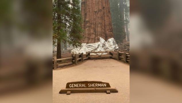 Cel mai mare copac din lume în folie de protecție, pentru a-l proteja împotriva incendiilor din California