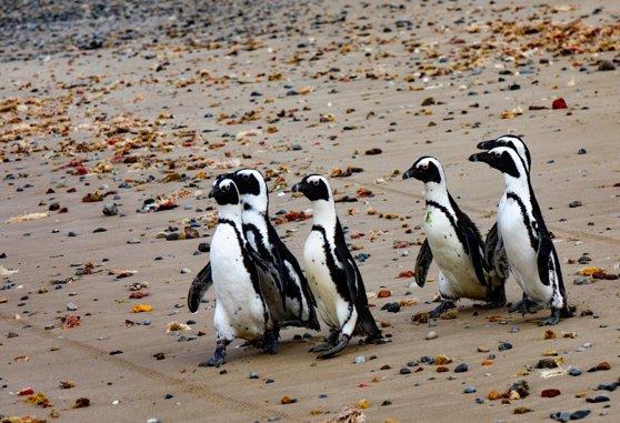 Albinele au ucis peste 60 de pinguini în Africa de Sud. Care este motivul